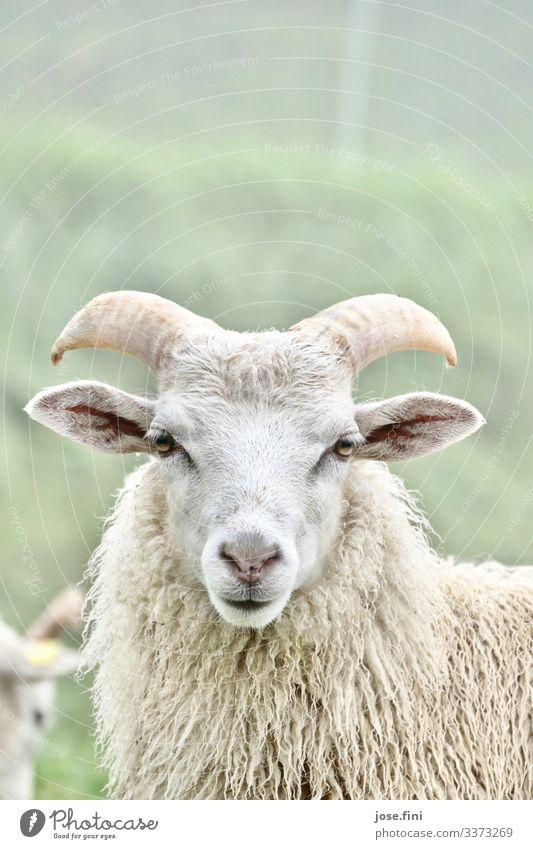 weißes Schaf vor grüner Wiese im Nebel Tier Viehbestand Viehmarkt Viehhaltung Nutztier Natur Tierporträt lockig Weide Außenaufnahme Schafherde Landwirtschaft