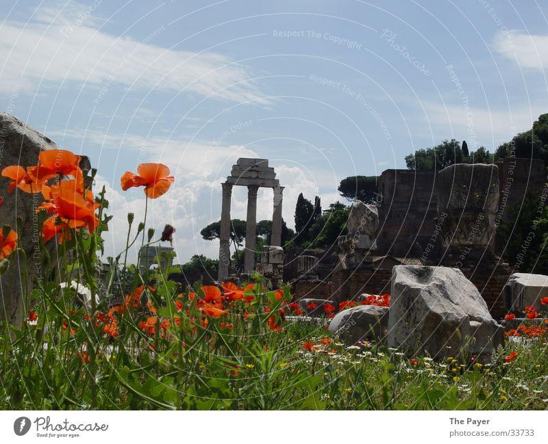 Forum Romanum: Semper floreat! Natur Blume Mohn historisch Nostalgie Säule Tempel Römerberg