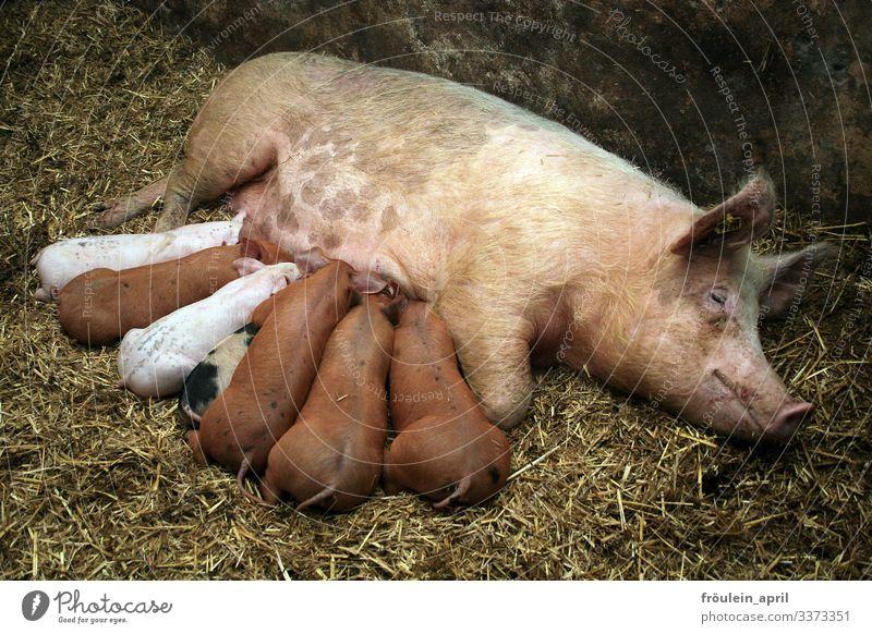 Schweine - Sau mit Ferkeln beim Säugen Tier Farbfoto Bauernhof Nutztier Tierjunges Menschenleer Landwirtschaft Natur rosa Glück niedlich Säugetier Schnauze