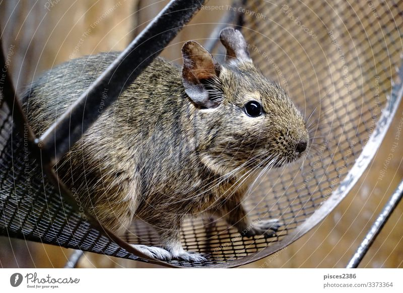 Degu sitting in wheel Blick octodon degus mammal rodent bead Chile pet cage hair cute little nose looking brown rat sweet ear head domestic hairy furry paws