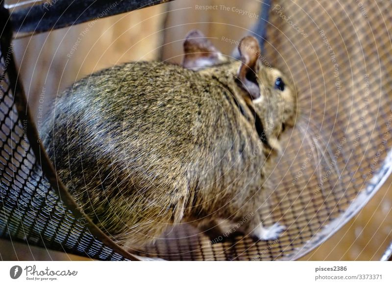 Degu running in it's wheel rennen octodon degus mammal rodent bead Chile pet sitting cage hair cute little nose brown rat sweet ear head domestic hairy furry