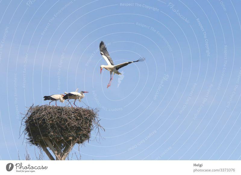 abgehoben | zwei Weißstörche stehen geduckt im Nest während ein dritter aus der Luft angreift Umwelt Natur Tier Wolkenloser Himmel Frühling Schönes Wetter