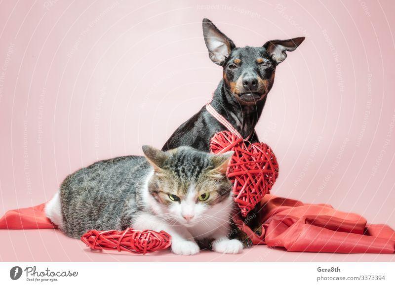 Miniatur-Pinscher-Welpe und -Graukatze mit Valentinstagsdekor Freundschaft Paar Tier Pelzmantel Stoff Haustier Hund Katze Herz Liebe Zusammensein lustig
