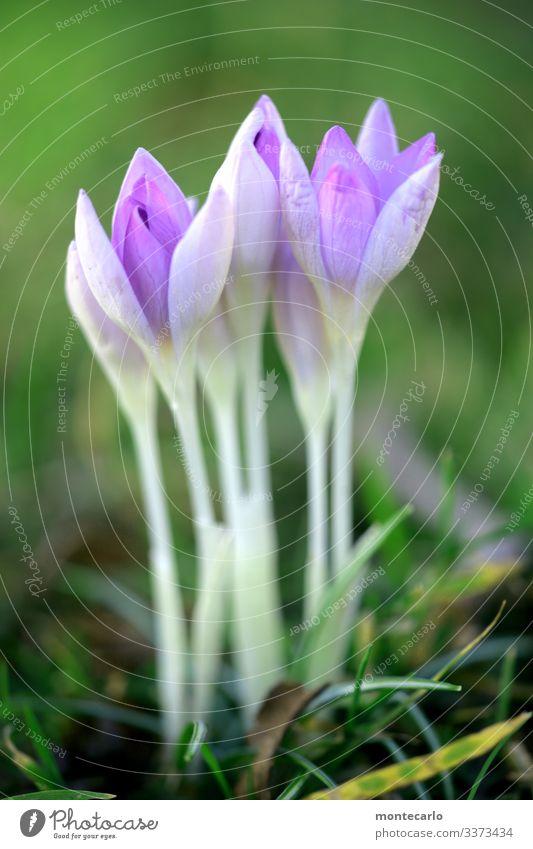 ..immer schön gerade Umwelt Natur Pflanze Frühling Blume Gras Blatt Grünpflanze Wildpflanze Krokusse dünn authentisch einfach frisch hoch klein nah natürlich