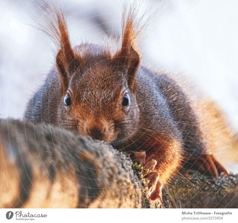 Auge in Auge Natur Tier Himmel Sonne Sonnenlicht Schönes Wetter Baum Ast Wildtier Tiergesicht Fell Krallen Pfote Eichhörnchen Ohr Nase Maul Kopf 1 beobachten