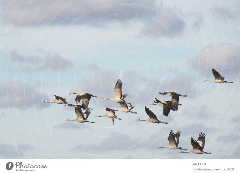 Kraniche im Gruppenflug vor blauem Himmel mit Wolken Natur Tier Herbst Schönes Wetter Wildtier Vogel Flügel Tiergruppe fliegen Jungvogel Eltern Vorbereitung