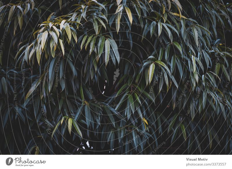 Grüne Blätter von Ficus Alii schön Leben ruhig Garten Umwelt Natur Pflanze Blatt Park Wachstum einfach frisch natürlich grün Farbe Bananenblatt-Feige