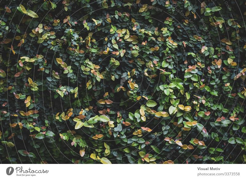 Blätter einer Gartenhecke schön Leben ruhig Umwelt Natur Pflanze Sträucher Blatt Park Wachstum einfach frisch natürlich grün Farbe Buchse Hecke bunte Blätter