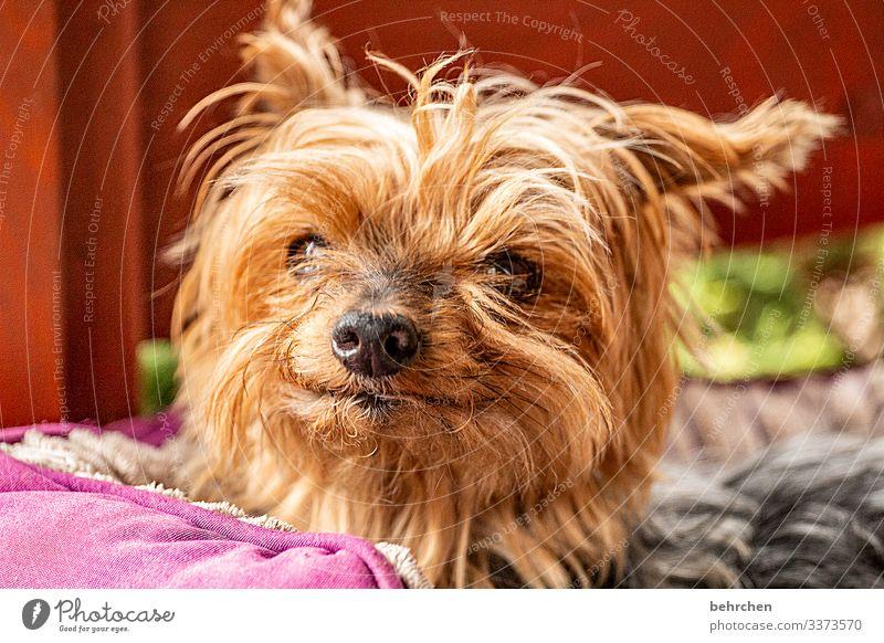 R.I.P. kleine miusch Haustier Hund Tiergesicht Fell Nase Auge Ohr frech schön Neugier niedlich Zufriedenheit Geborgenheit Yorkshire-Terrier Freundlichkeit