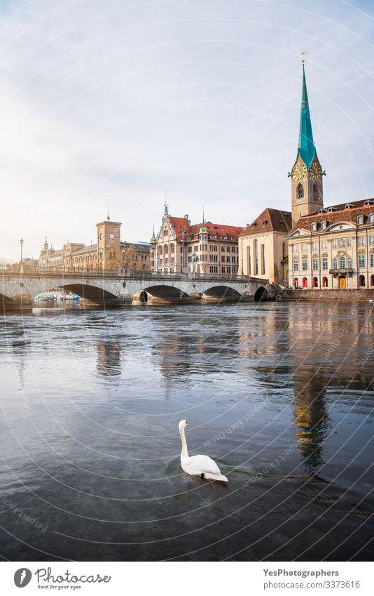 Zürcher Altstadt mit Brücke über die Limmat und einem Schwan Ferien & Urlaub & Reisen Tourismus Ausflug Abenteuer Sightseeing Städtereise Winter Kultur