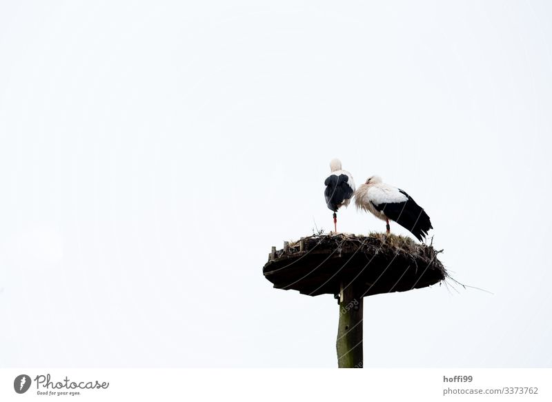 zwei Störche auf einem Bein im Nest Natur Himmel Frühling Vogel Storch 2 Tier Tierpaar Horst beobachten berühren stehen warten Häusliches Leben Beginn