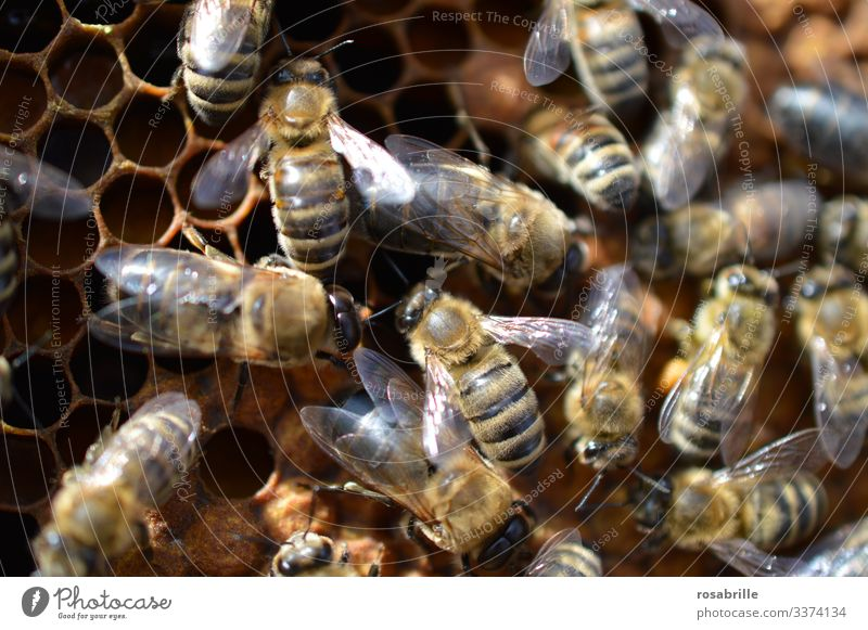 viele summende Bienen arbeiten fleißig auf einer Honigwabe | Geräusch Bienenstock Honigbiene Wabe Bienenwaben Tier Nutztier Insekt Imkerei