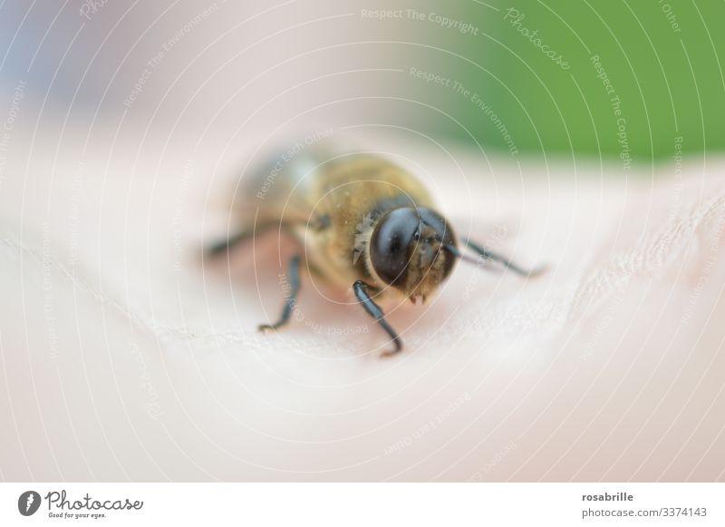 lebensnotwendig | für die Erbgutverbreitung eines Bienenvolks: der Drohn männlich männliche Biene Augen groß große Augen klein Stachel harmlos Tier Insekt