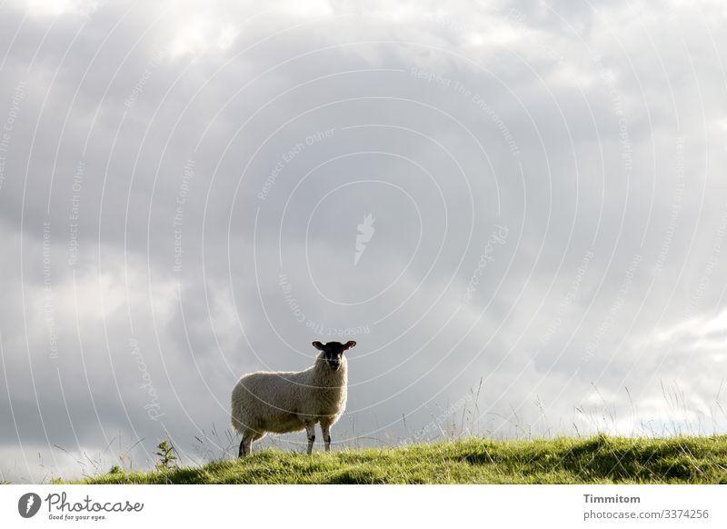 Wachsames Schaf prüft die Lage Weide Gras Hügel Überblick wachsam Himmel Wolken Außenaufnahme Yorkshire Großbritannien
