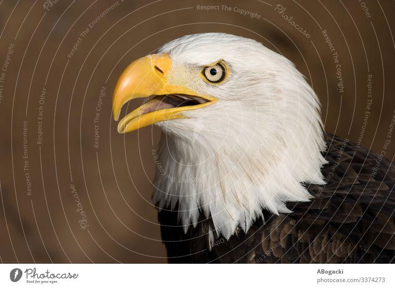 Amerikanischer Weißkopf-Seeadler Porträt Tier Vogel Weisskopfseeadler 1 wild Schnabel Tierwelt Adler Amerikaner Raubtier Raptor majestätisch Feder