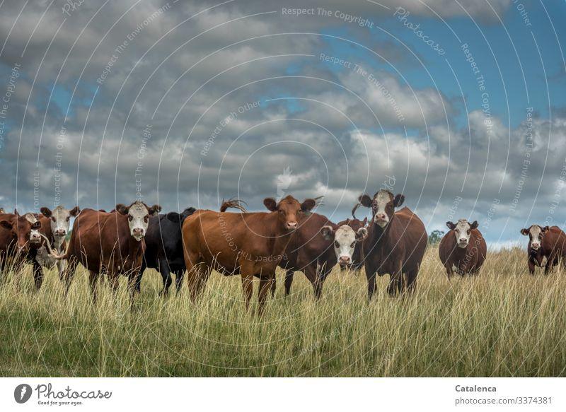 Neugierige Rinderherde im hohem Gras, Wolken stehen am Himmel Rinderhaltung Kühe schauend Grasland Tierporträt Starke Tiefenschärfe Außenaufnahme nachhaltig