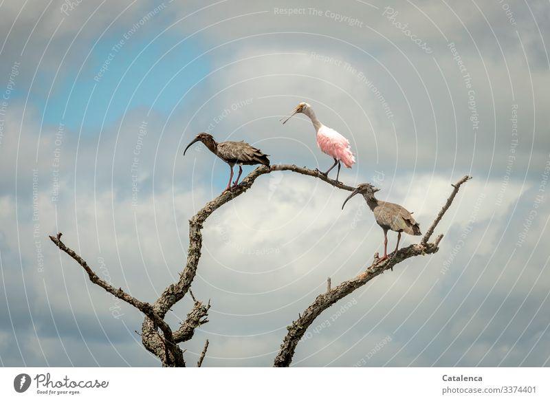 Drei wachsame Ibisvögel stehen auf Äste abgestorbener Weiden, dunkle Regenwolken ziehen am Himmel auf Vögel Tiere Fauna Ast vertrocknet Wolken schlechtes Wetter