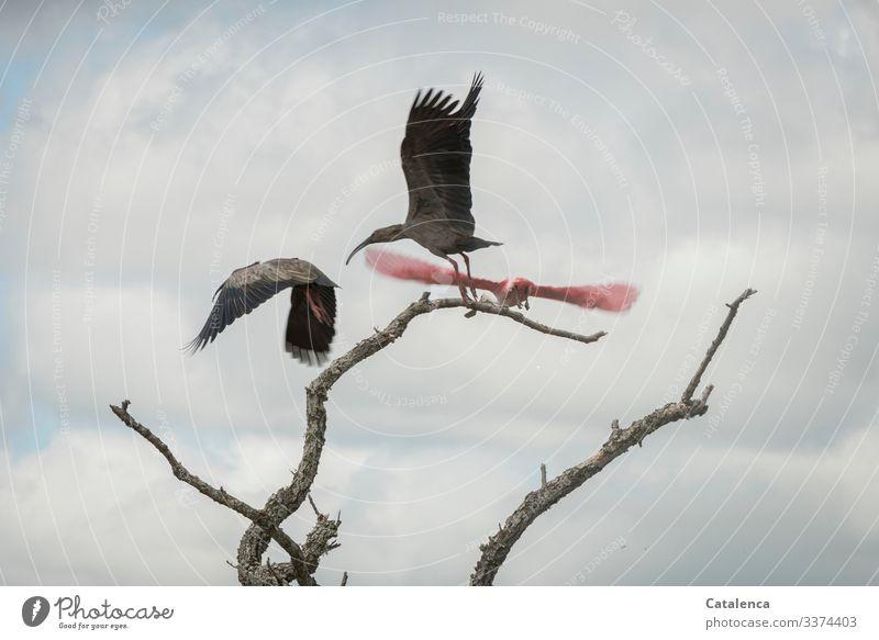 Abgehoben | drei Mal Natur Tier Himmel Wolken Pflanze Baum Astgabel Vogel Sichler Rosalöffler 3 fliegen elegant Ferne schön blau grau rosa Stimmung Wachsamkeit
