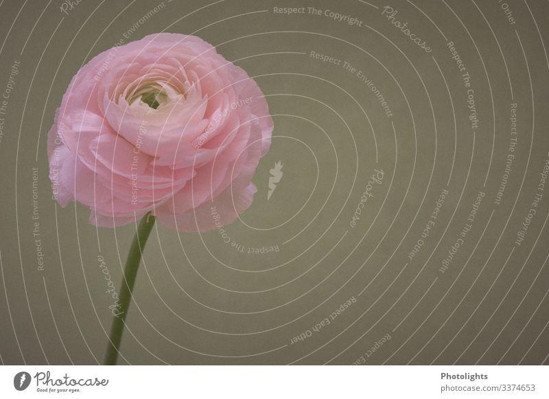 Ranunkel Duft Dekoration & Verzierung Natur Pflanze Blume Blatt Blüte Wildpflanze Trollblume Garten Park Blühend verblüht ästhetisch frisch rund dünn grün rosa