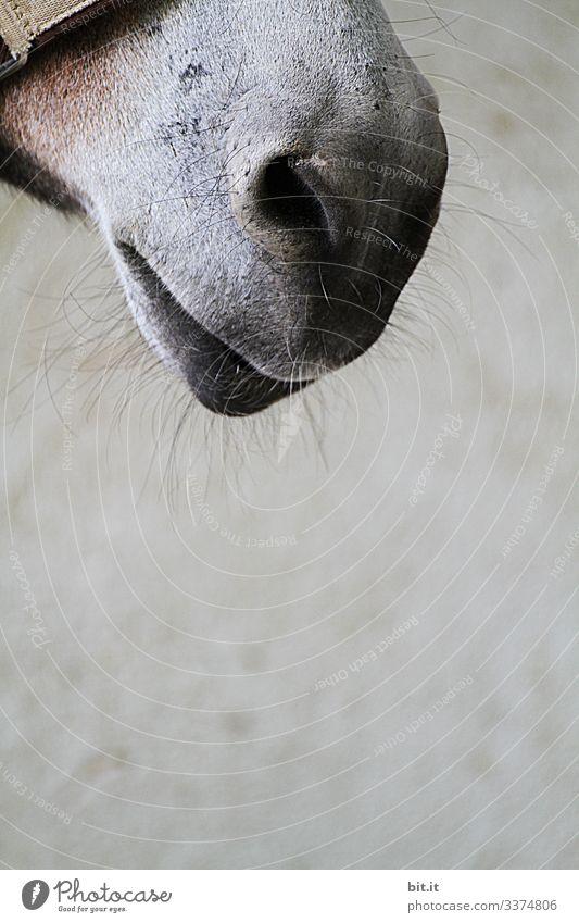Maul eines Pferdes als Detailaufnahme mit Tasthaaren, und Halfter vor grauer Wand vom Pferdestall, auf einem Bauernhof. Pony Tier Tierliebe Tierporträt