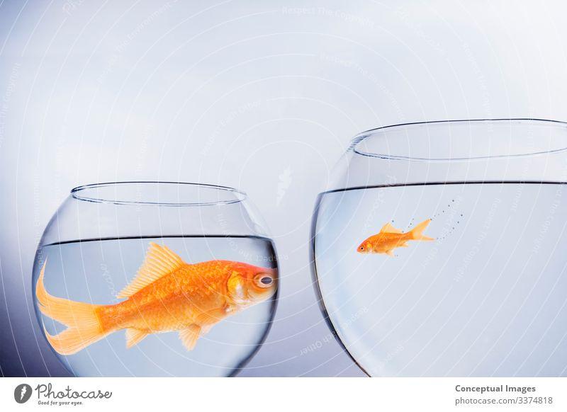 Große und kleine Goldfische von Angesicht zu Angesicht Freiheit Umzug (Wohnungswechsel) Freundschaft Haustier Zusammensein Idee Tiere Tiermotive Anthropomorphe