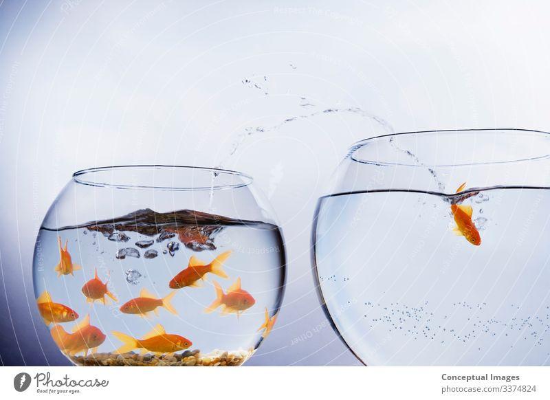 Goldfische entkommen aus überfülltem Fangschale Freiheit Umzug (Wohnungswechsel) Tier Haustier springen einzigartig Beginn Idee Tiermotive Ankunft