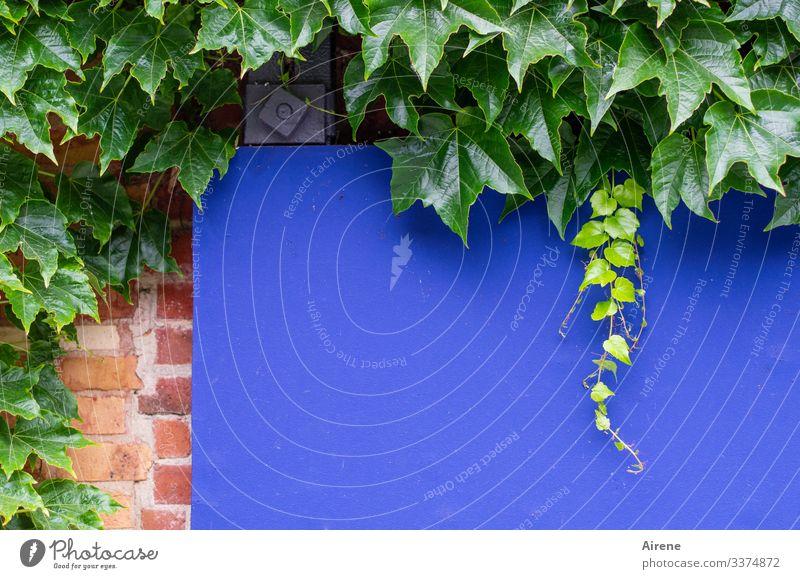 Blaue Tafel ohne Nachricht blau Anzeigetafel analog rot grün Backsteinwand Klinker Fassade Mauer Kletterpflanzen Wilder Wein Weinblätter Wachstum Ranke