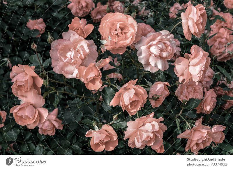 Pastellrosa Rosen im Garten Roséwein staubig-rosa Antiquität alt Blume Blumen retro altehrwürdig Gartenarbeit urban Natur Blütezeit Überstrahlung Blühend Sommer