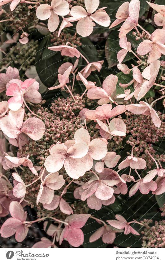 Rosa Hortensienblüten im Garten rosa staubig-rosa Pastell Blumen retro altehrwürdig Gartenarbeit Natur geblümt Hintergrund Textur feminin elegant Blütezeit