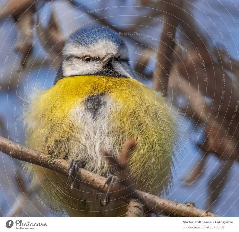 Aufgeplusterte Blaumeise Natur Tier Himmel Sonne Sonnenlicht Schönes Wetter Baum Zweige u. Äste Wildtier Vogel Tiergesicht Flügel Krallen Meisen Kopf Feder