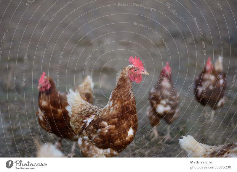 Huhn auf einer Hühnerfarm Tier Vogel Tiergesicht Flügel 4 Tiergruppe Herde braun rot Haushuhn Geflügelfarm Bauernhof Hühnervögel Hühnerstall Hühnerei