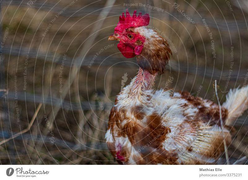 Gerupftes Huhn 1 Tier braun rot gerupft Feder Haushuhn Hahn gestört psychotisch Tierhaltung Viehhaltung Bauernhof Legebatterie Hühnerstall Geflügelfarm
