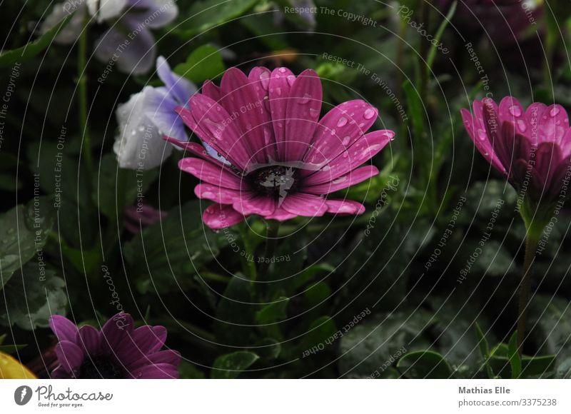 Wasser in der Blüte Pflanze Gras violett rosa Blütenknospen Wassertropfen Regenwasser Blatt Blumenwiese Blumengießen Farbfoto Menschenleer