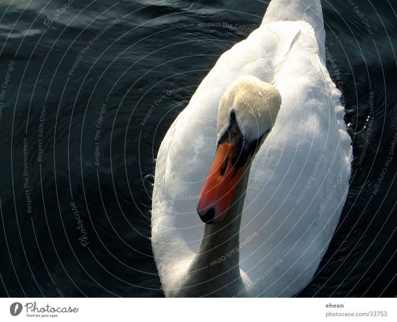 Schwan See Schnabel Tier Vogel Wasser Aktionfoto