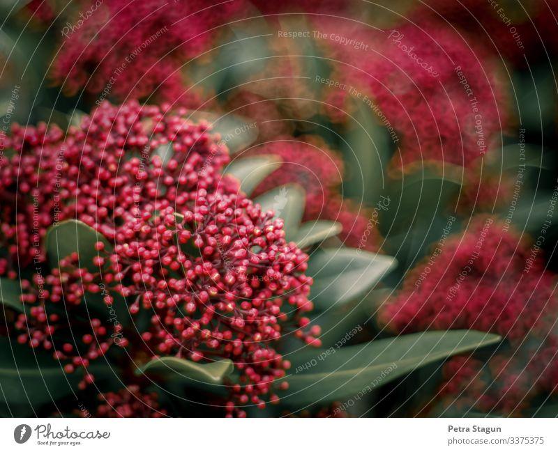 Pinkish Garten Umwelt Natur Pflanze Frühling Sträucher Blatt Blüte Blühend entdecken natürlich grün rosa rot Wachstum Unschärfe Blütenknospen Naturliebe