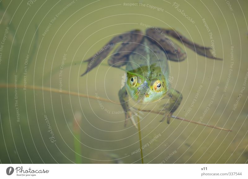 Wetterfrosch Natur Tier Wasser Frühling Garten Teich Frosch Tiergesicht 1 Schwimmen & Baden beobachten festhalten Blick warten gruselig kalt lustig schleimig