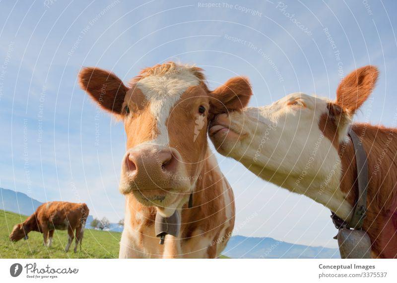 Eine Kuh, die einem anderen ihre Zuneigung schenkt Freundschaft Zusammensein Neugier Romantik Idee Ackerbau Tiermotive Hausrind pflanzenfressend Humor