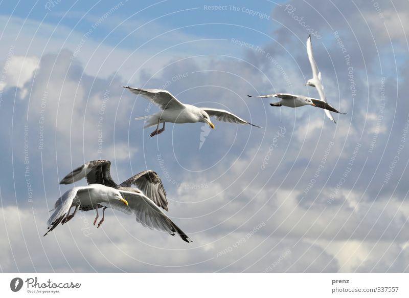Ausflug Umwelt Natur Tier Himmel Schönes Wetter Wildtier Vogel Tiergruppe blau weiß Möwe fliegen fliegend Ostsee Farbfoto Außenaufnahme Menschenleer