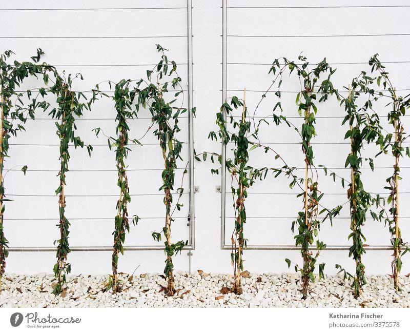Wachstum Natur Frühling Sommer Herbst Winter Pflanze Mauer Wand Fassade Stein grün weiß Blätter Ranke Reihe Symmetrie Farbfoto Außenaufnahme Menschenleer Morgen
