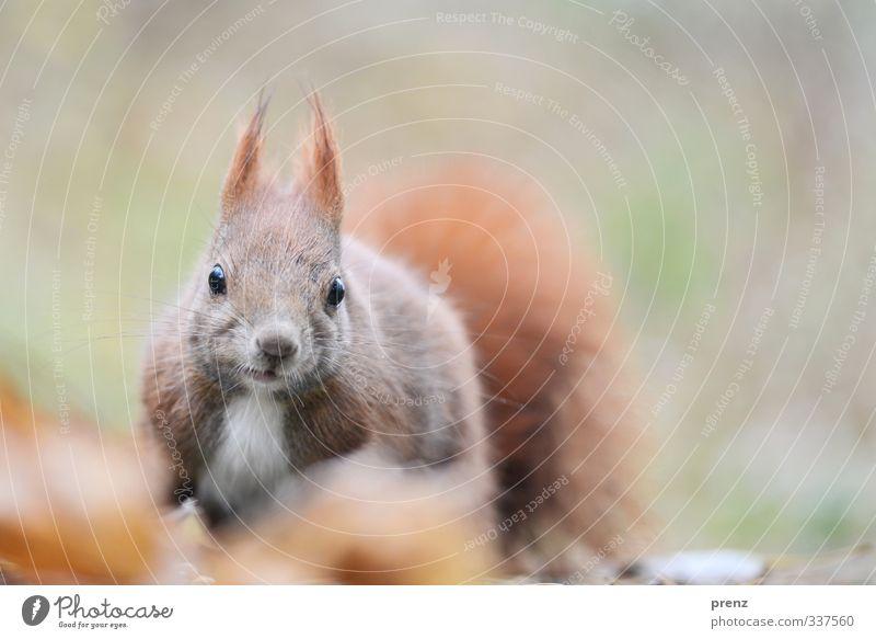 Blick Umwelt Natur Tier Wildtier 1 braun grün Eichhörnchen Blick in die Kamera Farbfoto Außenaufnahme Menschenleer Textfreiraum rechts Tag