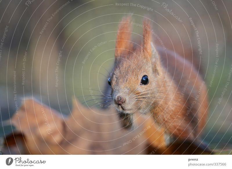 Eichhörnchen Umwelt Natur Tier Herbst Wildtier 1 blau braun sitzen Nahaufnahme Farbfoto Außenaufnahme Menschenleer Textfreiraum links Tag Schwache Tiefenschärfe