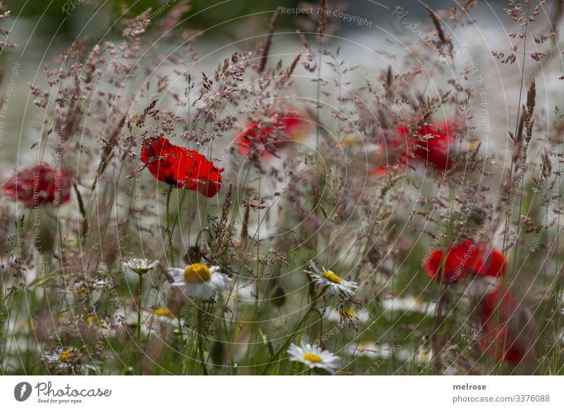 Farbtupfer Mohn, Blumenwiese, Margeritenwiese, blühende Gräser Lebensmittel elegant Stil Design Natur Pflanze Sommer Sommerwiese Klatschmohn Blütenblätter