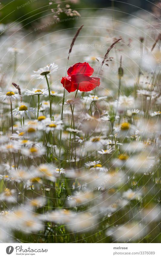 Farbtupfer Mohn, Blumenwiese, Margeritenwiese Lebensmittel elegant Stil Design Natur Pflanze Sommer Sommerwiese Klatschmohn blühende Gräser Blütenblätter