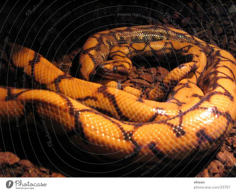 snakkker box schön dunkel Ekel Schlange Reptil