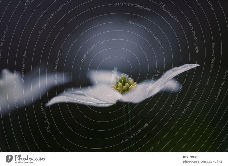 weiße zarte Blume Lifestyle Natur Winter schlechtes Wetter Pflanze Blüte Garten trist Traurigkeit kalt nah nass Trauer Liebeskummer Hoffnung Perspektive