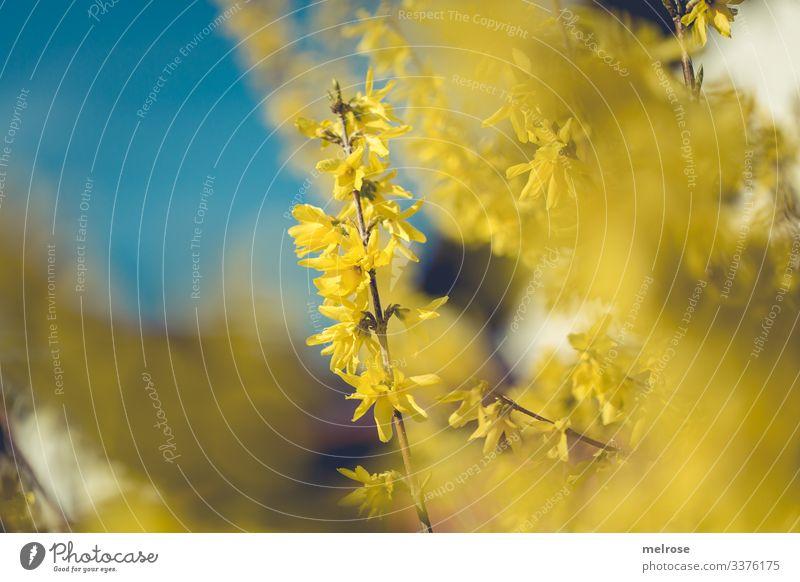 Forsythien mit Himmel im Hintergrund Lifestyle Natur Pflanze Blüte Garten Hoffnung Perspektive Vergänglichkeit Farbfoto Außenaufnahme Nahaufnahme Detailaufnahme