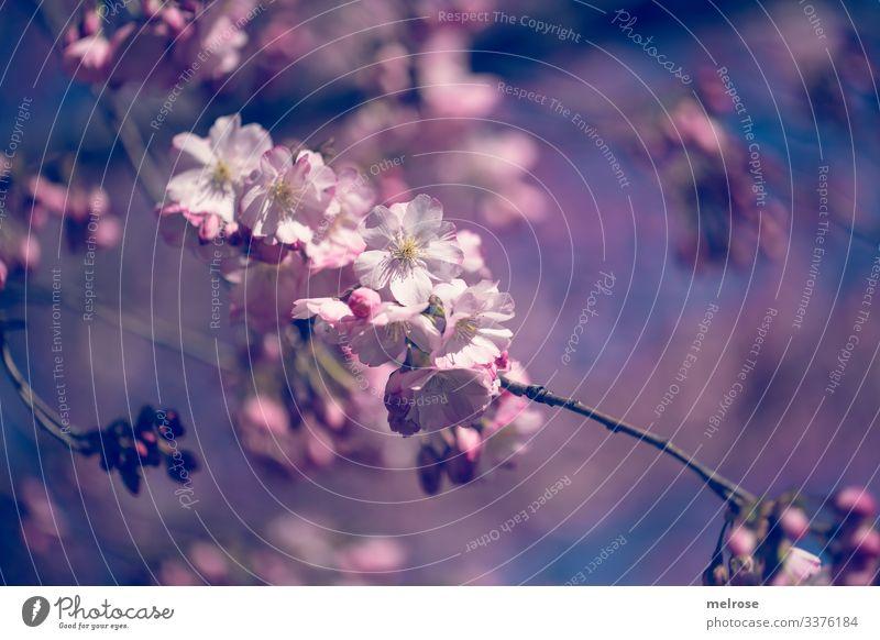 Apfelblüten rosa, weiß, blau Lifestyle Natur Pflanze Blüte Garten Hoffnung Perspektive Vergänglichkeit Farbfoto Außenaufnahme Nahaufnahme Detailaufnahme
