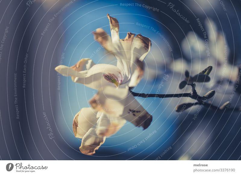 weiße Magnolie Lifestyle Natur Pflanze Blüte Garten Hoffnung Perspektive Vergänglichkeit Farbfoto Außenaufnahme Nahaufnahme Detailaufnahme Menschenleer Licht