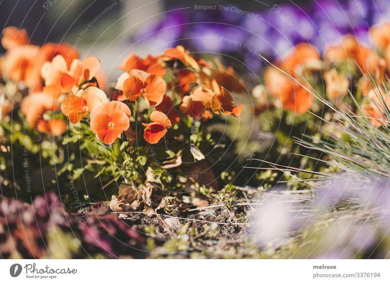 Stiefmütterchen orange-lila Lifestyle Natur Pflanze Blüte Garten Hoffnung Perspektive Vergänglichkeit Farbfoto Außenaufnahme Nahaufnahme Detailaufnahme