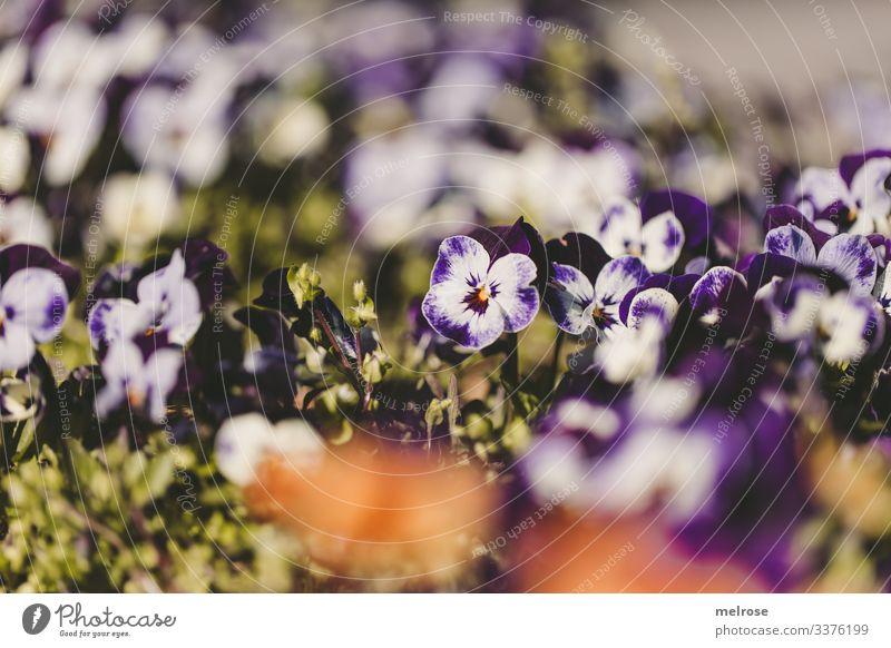 Stiefmütterchen lila-weiß Lifestyle Natur Pflanze Blüte Garten Hoffnung Perspektive Vergänglichkeit Farbfoto Außenaufnahme Nahaufnahme Detailaufnahme